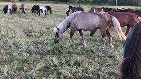 Το άλογο περπατά σε έναν πράσινο τομέα Ένας επιβήτορας βόσκει σε ένα λιβάδι φιλμ μικρού μήκους