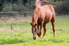 Το άλογο τρώει τη χλόη σε ένα πολύβλαστο λιβάδι Στοκ φωτογραφία με δικαίωμα ελεύθερης χρήσης