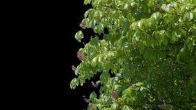 Το άλφα κανάλι ανθίζει το διαφανές υπόβαθρο δέντρων απόθεμα βίντεο