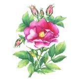 Το άνθισμα κλάδων ρόδινο αυξήθηκε ονόματα: το σκυλί αυξήθηκε, canina Rosa, ιαπωνικά αυξήθηκε, rugosa της Rosa, γλυκός briar, egla ελεύθερη απεικόνιση δικαιώματος