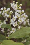 Το άνθισμα των κλάδων του κερασιού ανθίζει με τα άσπρα λουλούδια Prunus Padus στους φυσικούς όρους, κινηματογράφηση σε πρώτο πλάν Στοκ Εικόνες