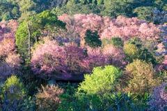 Το άνθος ή το sakura κερασιών ανθίζει σε Khun Chang Kian, Chiangmai, Ταϊλάνδη Στοκ Φωτογραφίες