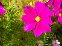 το άνθος ανθίζει το ροζ Στοκ εικόνα με δικαίωμα ελεύθερης χρήσης