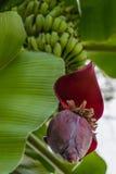 Το άνθος και βγάζει φύλλα του δέντρου μπανανών με τις πράσινες μπανάνες στην Ταϊλάνδη Στοκ Εικόνες