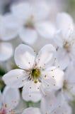 Το άνθος κερασιών Στοκ φωτογραφία με δικαίωμα ελεύθερης χρήσης