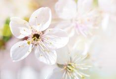 Το άνθος κερασιών Στοκ εικόνες με δικαίωμα ελεύθερης χρήσης