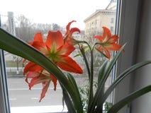 Το άνθος λουλουδιών στην παράθυρο-στρωματοειδή φλέβα στοκ εικόνες