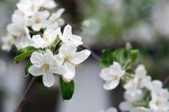 Το άνθος της Apple Στοκ Φωτογραφίες