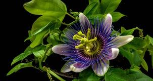 Το άνοιγμα και το κλείσιμο Passiflora του λουλουδιού στο μαύρο άλφα κανάλι υποβάθρου απόθεμα βίντεο