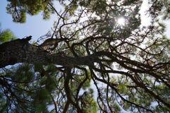 Το δάσος δέντρων πεύκων στο νησί EL Hierro, Κανάριο νησί, Ισπανία Στοκ Εικόνες