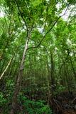 Το δάσος μαγγροβίων Στοκ φωτογραφία με δικαίωμα ελεύθερης χρήσης