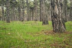 Το δάσος πεύκων την πρώιμη άνοιξη στοκ φωτογραφίες