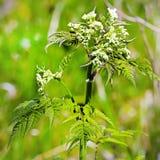 Το δάσος Copyri (sylvestris Anthriscus) είναι ένα διετές ποώδες π Στοκ εικόνα με δικαίωμα ελεύθερης χρήσης