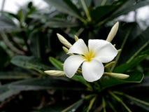 Το άσπροι και κίτρινοι λουλούδι frangipani plumeria και οι οφθαλμοί της παγόδας ή του δέντρου ναών με το σκοτάδι αφήνουν το υπόβα Στοκ Φωτογραφία