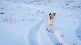 Το άσπρος-καφετί σκυλί κοιτάζει σε κάποιο Στοκ Εικόνα
