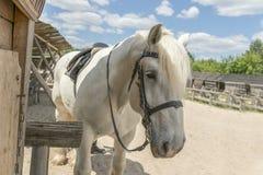 Το άσπρο άλογο είναι δεμένο στο στάβλο Το άσπρο άλογο είναι δεμένο στο στάβλο Στοκ Φωτογραφία