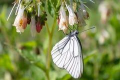Το άσπρο λάχανο πεταλούδων συλλέγει το νέκταρ της από το λουλούδι της με ένα άσπρο λουλούδι Στοκ Εικόνες