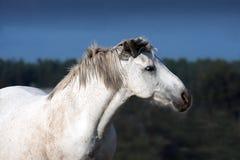 Το άσπρο άλογο σε ένα ελεύθερο λιβάδι κοιτάζει μακρυά Στοκ Εικόνες