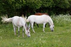 Το άσπρο άλογο δύο βόσκει σε ένα λιβάδι άνοιξη Στοκ εικόνες με δικαίωμα ελεύθερης χρήσης
