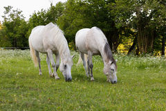 Το άσπρο άλογο δύο βόσκει σε ένα λιβάδι άνοιξη Στοκ Φωτογραφίες