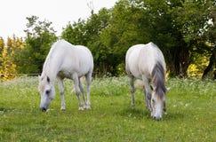 Το άσπρο άλογο δύο βόσκει σε ένα λιβάδι άνοιξη Στοκ φωτογραφίες με δικαίωμα ελεύθερης χρήσης