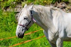 Το άσπρο άλογο Στοκ φωτογραφία με δικαίωμα ελεύθερης χρήσης