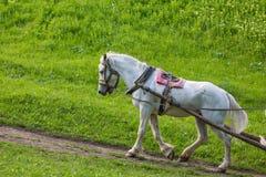 Το άσπρο άλογο Στοκ Φωτογραφία