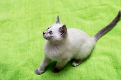 Το άσπρο γατάκι με τα μπλε μάτια έχει καθίσει Στοκ Φωτογραφία
