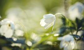 Το άσπρο ελατήριο ανθίζει το άγριο anemone Στοκ Φωτογραφία