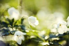Το άσπρο ελατήριο ανθίζει το άγριο anemone Στοκ Εικόνες