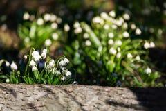 Το άσπρο ελατήριο ανθίζει snowflake Leucojum στοκ εικόνες
