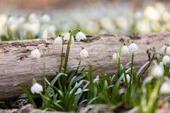 Το άσπρο ελατήριο ανθίζει snowflake Leucojum στοκ φωτογραφίες με δικαίωμα ελεύθερης χρήσης