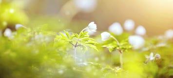 Το άσπρο ελατήριο ανθίζει το άγριο anemone Στοκ φωτογραφίες με δικαίωμα ελεύθερης χρήσης