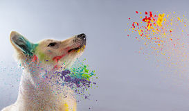 Το άσπρο ελβετικό σκυλί ποιμένων σε ένα στούντιο Στοκ Φωτογραφία