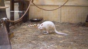 Το άσπρο καγκουρό είναι στο ζωολογικό κήπο απόθεμα βίντεο