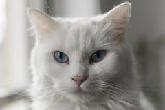 Το άσπρο κενό γατών ` s κοιτάζει επίμονα Στοκ φωτογραφία με δικαίωμα ελεύθερης χρήσης