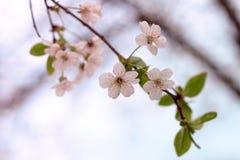 Το άσπρο κεράσι ανθίζει λουλούδια με τα φύλλα στοκ εικόνα