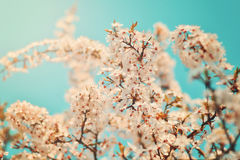 Το άσπρο κεράσι ανθίζει μπλε ουρανοί Στοκ φωτογραφίες με δικαίωμα ελεύθερης χρήσης