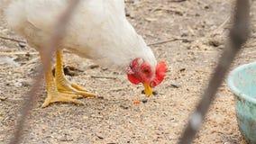 Το άσπρο κοτόπουλο τρώει τα τρόφιμα φιλμ μικρού μήκους