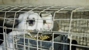Το άσπρο κουνέλι δύο είναι στο ανοξείδωτο κλουβί με την τροφή απόθεμα βίντεο