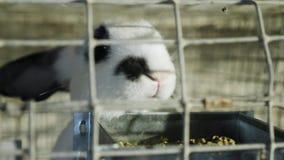 Το άσπρο κουνέλι είναι στο ανοξείδωτο κλουβί με την τροφή φιλμ μικρού μήκους