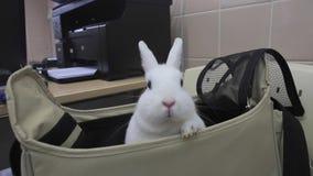 Το άσπρο κουνέλι κάθεται σε μια τσάντα απόθεμα βίντεο