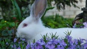 Το άσπρο κουνέλι είναι στα πορφυρά λουλούδια φιλμ μικρού μήκους
