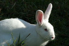 Το άσπρο κουνέλι Στοκ Φωτογραφίες