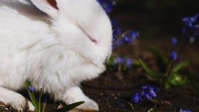 Το άσπρο λαγουδάκι Πάσχας πλένει το πρωί άνοιξη απόθεμα βίντεο