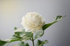 Το άσπρο λουλούδι έχει τα μαλακά πέταλα, Jasminum sambac στο επιστημονικά όνομα και το διάστημα για το κείμενο Στοκ Εικόνες