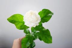 Το άσπρο λουλούδι έχει τα μαλακά πέταλα, Jasminum sambac στο επιστημονικά όνομα και το διάστημα για το κείμενο - Τροπικό λουλούδι Στοκ φωτογραφία με δικαίωμα ελεύθερης χρήσης