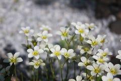 Το άσπρο λουλούδι ικετεύει στοκ φωτογραφίες