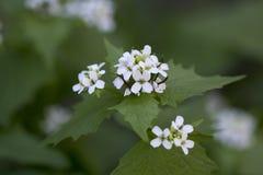 Το άσπρο λουλούδι στην πράσινη φύση με Στοκ Εικόνες