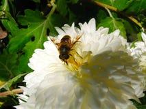Το άσπρο λουλούδι χρυσάνθεμων αυξάνεται στον ήλιο στοκ εικόνα με δικαίωμα ελεύθερης χρήσης